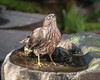 A BIG GULP OF WATER FOR A SHARP-SHINNED HAWK ON THE BASALT BIRD BATH