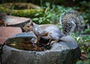 A GREY SQUIRREL TAKING WATER OUT OF THE HUGE CHUNK OF BASALT ROCK WITH A NATURAL WATER BASIN WE FOUND FOR THE BACK GARDEN