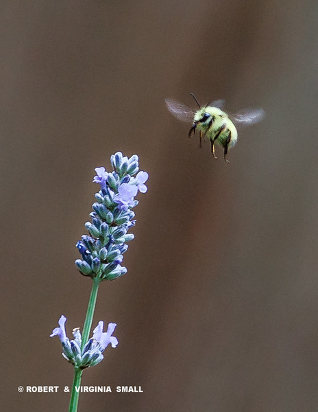AHHH, LAVENDER HONEY IN THE WORKS BY THIS HONEY BEE AS HE STOPS IN OUR GARDEN FOR HIS CONTRIBUTION TO THE COMB IN HIS HIVE