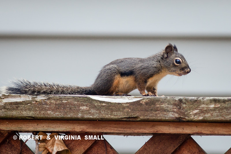 HEY, THIS ISN'T AN ID SHOT,  IT'S OUR BUDDY, 'DOUG' SQUIRREL, SITTING FOR A 'MUG SHOT''