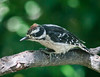 A SHY LITTLE HAIRY WOODPECKER FLEDGLING APPEARED IN OUR SERVICEBERRY TREE THE OTHER DAY . . .GLAD TO SEE THEM BACK AGAIN