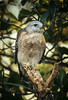 A resident Red-shouldered Hawk at the Ding Darling reserve in Florida.