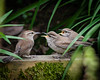 A NEW FAMILY IN THE NEIGHBORHOOD!  BEWICK'S WREN WITH TWO FLEDGLINGS  APPEARED IN THE BACK GARDEN TODAY.