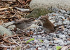 I'M  ONE HUNGRY BEWICK'S WREN FLEDGLING!  FEED ME OR SHOW ME WHERE TO FIND IT, PLEASE!