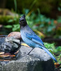 NICE HEALTHY STELLER'S JAY AT THE BUBBLER IN THE BACK GARDEN.
