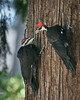 Year after year the Pileated Woodpeckers come to our suet on the Red Cedar tree to feed their young families
