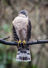 A SHARP=SHINNED HAWK, RIGHT?