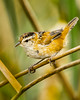 A Marsh Wren, a cheery sight IF you can locate this little ventriloquist by its cheery song.