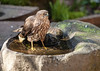 A SHARP-SHINNED HAWK CAME TO THE BASALT WATER BASIN TO BATHE AND DRINK YESTERDAY
