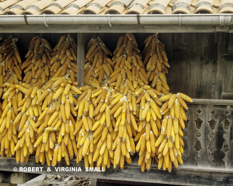 HARVESTED CORN DRYING, GALICIA, SPAIN