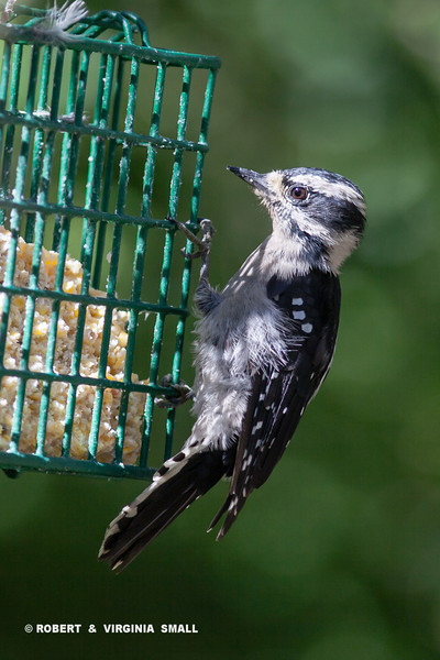 LITTLE DOWNY WOODPECKER (f)