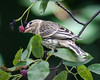 SO, FINCHES ENJOY SERVICEBERRIES, TOO!  WHO KNEW?!