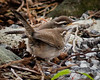 TWO NEWLY FLEDGED BEWICK'S WRENS