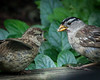 A belated addition to our new young additions to the garder, a White-crowned Sparrow fledgling and parent feeding him in our garden.