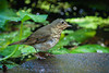 SWAINSON'S THRUSH AT OUR POND