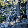 Point Lobos - Cypress Tree Grove. These Cypress trees are awesome.