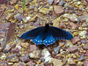 Pipevine Swallowtail, <em>Battus philenor</em> Rodeo Valley Trail, Golden Gate National Recreation Area, Marin Co., CA 2012/04/16