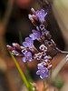 <em>Limonium californicum</em>, California Sealavender, native.  <em>Plumbaginaceae (Leadwort family). Corte Madera Creek, Kentfield, Marin Co., CA, 2013/07/09, jm2p1035