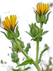 Helminthotheca (Picris) echioides, Bristly Ox-tongue, Europe.  Asteraceae (= Compositae, Sunflower family). Millerton Point, Tomales Bay State Park, Marin Co., CA, 2013/07/15, jm2p346