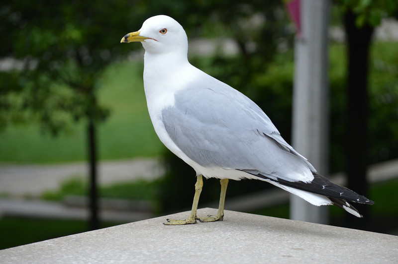 Closeup of a Seagull in Chicago