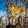 Amur Tiger is King of the Stump