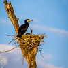 Large Cormorant and chick