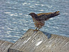 Red-tailed Hawk, Buteo jamaicensis, juvenile. Park St. Breakwater, crown beach, Alameda, Alameda Co., CA, 2013/12/30