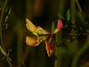 <em>Lotus corniculatus</em>, Bird's Foot Trefoil, Eurasia.  <em>Fabaceae</em> (=<em>Leguminosae</em>, Legume family). Elsie Roemer Sanctuary, Crown Beach Regional Park, Alameda, Alameda Co., 2014/08/30, CA,  jm2p764.