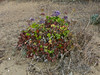 Limonium perezii, Canary Island Sea Lavender, Canary Islands.  Plumbaginaceae (Leadwort family). Crown Beach, Alameda, Alameda County, CA, 2014/01/28, jm2p1035