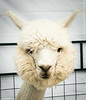 2014 07 12 Irwin girls alpaca portrait-4319