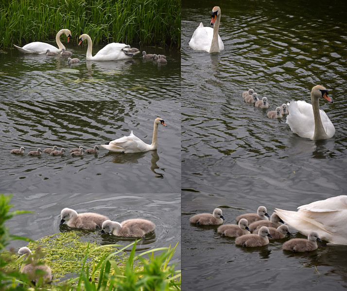 27.05.15 - And Then There Were Seven!<br /> <br /> This is the same swan family that I featured yesterday. I thought there were 2, possibly 3, babies, but last night I found that there are actually 7!
