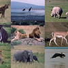 01.07.15 - Safari<br /> <br /> Here is something completely different from me, some old shots from a safari on the Masai Mara and Lake Nakuru in Kenya in the late 1990s. I was prompted to check out some old transparencies and make this collage after a discussion about heat and high temperatures, as yesterday was apparently the hottest July day in the UK on record. The temperature reached 92F in Lincoln, but was higher at Heathrow airport where the record was actually broken. My personal record is 126F in Death Valley, California by the way!