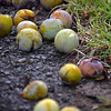 """13.08.14 - Windfall<br /> <br /> We're still in a run of windy weather and it is doing some minor damage to the trees. As the fruit ripens it is also vulnerable to being blown right off the tree. If you're quick you can collect it, but sadly these plums are a bit beyond it.<br /> <br /> Today is the first of another run of filming """"Tell Them of Us"""", so you know what to expect tomorrow :)"""