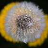 09.04.14 - Dandelion<br /> <br /> Dandelions can be a fascinating subject to photograph and I am always trying to find new ways to shoot them. Here I used a very shallow depth of field to create a surreal effect while looking straight down onto a seed head and two intact flowers. Apart from slight cropping to even out the dark space around the image this is straight out of camera.<br /> <br /> Thank-you for your wonderful comments on my windmill sunset yesterday.