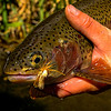 Redside Rainbow Trout Fooled by a Golden Stone, Deschutes River, OR