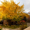 North America, USA, Illinois, Oak Park, Frank Lloyd Wright, House and Grounds Ginko Tree