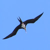 061 1, Great Frigatebird, Kilauea Lighthouse, Kaua'i, aug 24, 2005  572