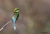 Bee-eater, Swallow-tailed Namibia Africa