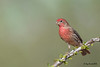 House finch, Male Arizona