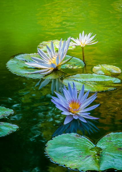 """""""Water Lilies in Pastel"""""""