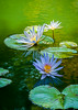 """Water Lilies in Pastel"""