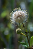 A Buttonbush by the nature walk