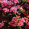 Begonia Bush in Costa Mesa California 2