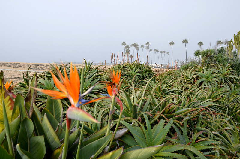 Bird of Paradise Flower at the Beach in Newport Beach CA