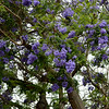 Purple Flower Trees in Santa Ana California