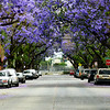 Purple Flower Trees on Santa Ana Street in Orange County California