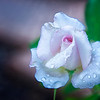 Light pink rose with rain drops - 2 (6172)
