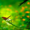 Butterfly on white flowers - 2 (4321)