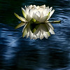 Water Lily and Reflection - 1 (0226)
