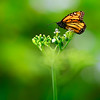 Monarch Butterfly on White Flowers (4184)